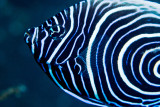 Juvenile emperor angelfish 4