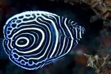 Juvenile emperor angelfish 2