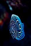 Juvenile emperor angelfish 3