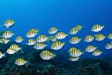 School of striped surgeonfish