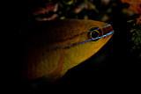 Apogon in the dark