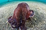 Ganesh, the coconut octopus