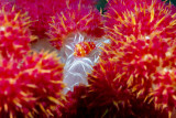 Allied cowrie in dendronephtya