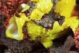 Clown frogfish yawning