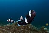 Black clownfish defending their anemones
