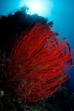 Menjangan whip corals