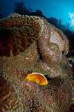 Menjangan clownfish