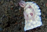 Chromodoris Hintuanensis