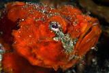 Orangy scorpionfish
