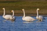 Whooper Swan - Wilde Zwaan - Cynus cygnus