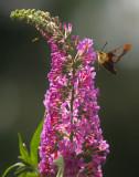 Hummingbird moth 12x18.jpg