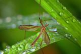 crane fly in the rain -12x18.jpg