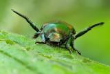 japanese beetle -12x18.jpg