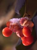 Winter Garden - Ice Berries