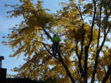 Worker in tree-he hoisted himself up with ropes and pulleys