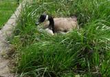 Goose on a nest