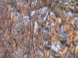 Downy woodpecker in branches