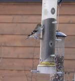 Female goldfinch!