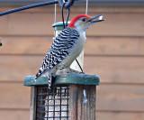 Red bellied woodpecker 5