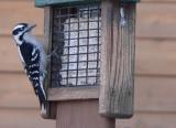 Downy woodpecker 2