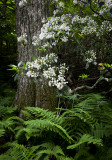 Mountain Laurel and Ferns