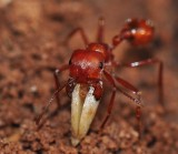 harvester ant removing a germinating seed from it's nest.