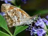 Snout butterfly on Vitex