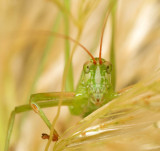 katydid in the pampas grass