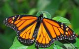 Late December Monarch (male, Houston Texas)