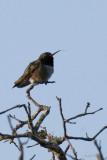 Colibri à gorge noire (Black-chinned hummingbird)