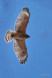 Buse à épaulettes (Red-Shouldered hawk)