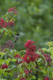 Colibri à gorge rubis, mâle (Ruby-throated hummingbird)