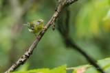 Parula americana Paruline à collier (Northern parula)