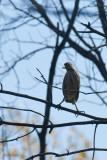 Bihoreau gris jeune (Black-crowned Night-Heron)