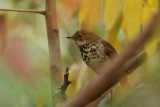 Grive solitaire (Hermit thrush)