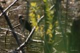 Héron vert jeune (Green heron)
