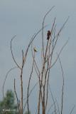 Moqueur roux et chardonneret jaune (Brown thrasher and goldfinch)