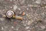 Escargot de jardin (White-lipped Snail)
