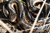Couleuvre rayée (Common gartersnake)