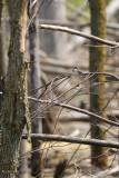 Tyran tritri jeune (Eastern Kingbird)