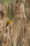 Paruline jaune (Yellow warbler)