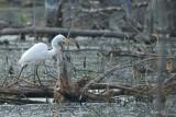 Grande aigrette (Great egret)