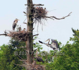 Blue Heron rookery at Gull bay