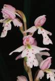 2011 Orchid Trip Part 3: Banff/Kootenay/Jasper Nat'l Parks