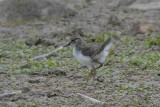Common Sandpiper chick Conwy RSPB