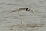 Common Tern Sizewell beach Suffolk