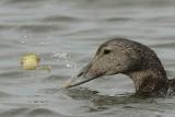 Eider Duck Holy Island Northumbria