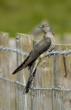 Common Cuckoo    Wales