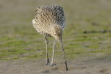 Curlew Conwy RSPB