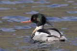 Red-breasted Merganser  Wales